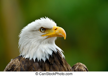 The Bald Eagle Haliaeetus leucocephalus portrait