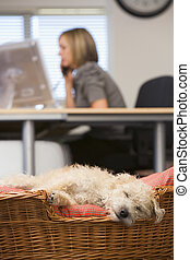 Dog sleeping in home office with woman in background