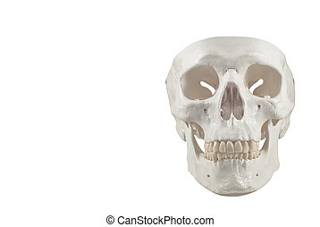 Human skull model,isolated