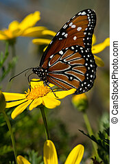 Monarch butterfly - Beautiful open winged butterfly on a...