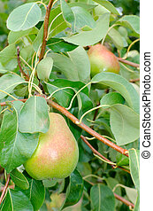 Two Pears Hanging on the Branch