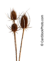 Thistle in winter, isoalted - Thistle in winter, isolated on...