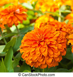 Orange Zinnia flowers in the garden