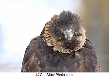 Golden Eagle Bending Over Backwards - A Golden Eagle Aquila...