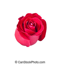 beautiful red rose isolated on white background,with...
