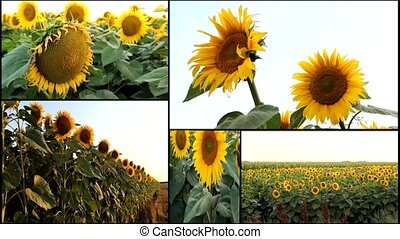 sunflower field multiscreen