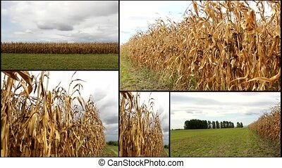 CORN FIELD multiscreen - CORN golden FIELD multiscreen