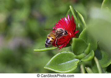 Bee Collecting Nectar From A Flower