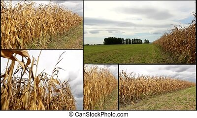 CORN FIELD multiscreen - golden CORN FIELD multiscreen