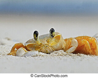 crab cangrejo - cangrejo crab playas
