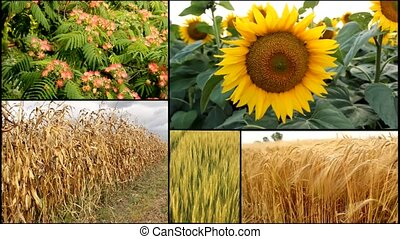 sunflower,corn,wheat,oats,barley... -...