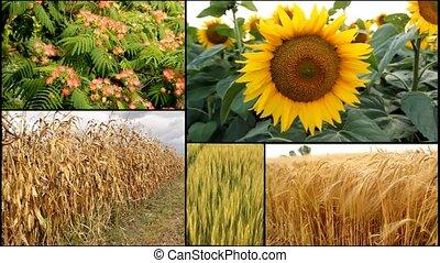 sunflower,corn,wheat,oats,barley... -...