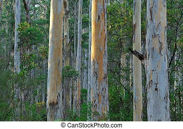 Strong and straight - parallel trunks of Karri trees in...
