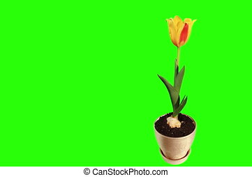 Yellow tulip bloom buds - 4K Yellow tulip bloom buds green...