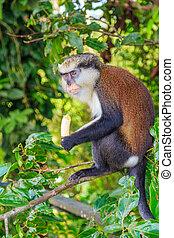 mona, majom, banán