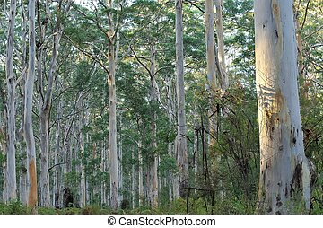 In the Depths of the Forest - In the Karri forest with many...