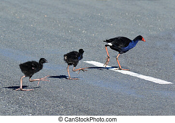 Pukeko - New Zealand Native Birds - Pukeko female crossing...
