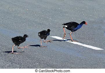 Pukeko - New Zealand Native Birds - Pukeko female crossing...