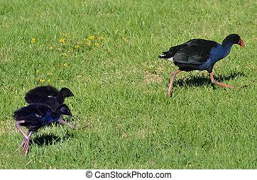 Pukeko - New Zealand Native Birds - Pukeko, Purple Swamphen...
