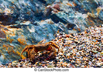 Crab - Small crab walking trough stones on a beach