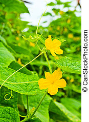 cucumbers flowers with leaves on green branch in the garden