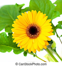 Yellow gerbera with leaf placed on white backgound