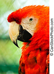 Beautiful red macaw close up