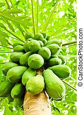 Green papaya on tree
