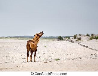 Assateague Wild Pony - A Wild pony, horse, of Assateague...