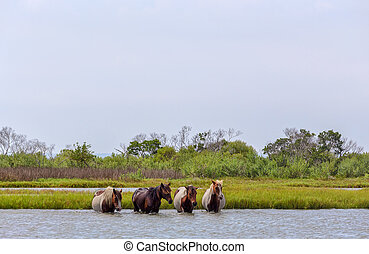 Assateague Wild Ponies Crossing Bay - Four wild ponies of...