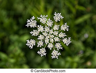 Queen Anne's Lace (Daucus carota) Wildflower also known as...