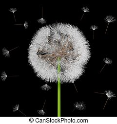 Seeds of a dandelion are carried by a wind