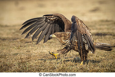White-tailed walking - White-tailed sea eagle taking and...