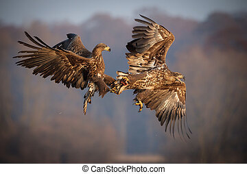 White-tailed sea eagles fighting over food - White-tailed...