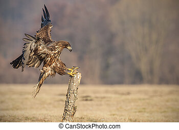 Whie-tailed eagle landing - White-tailed sea eagle coming in...