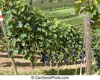 wineyard in franconia