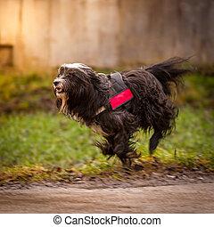 Tibetan Terrier - A Tibetan Terrier in the loose trot,...