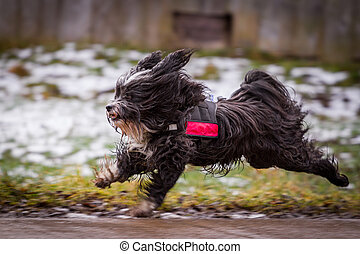 Fast dog - A Tibetan Terrier is a good mood on the gas and...