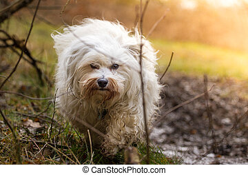 In the eye of the dog - A Little Havanese wanders through...
