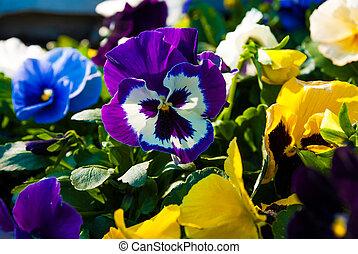 pensamiento, viola, tricolor, flor