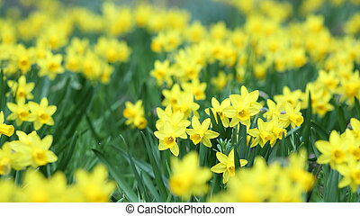 Jonquil, Narcissus jonquilla - Details of a group of spring...
