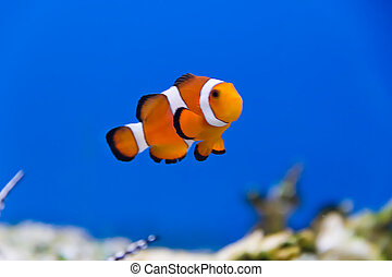 Clown fish - Image of clown fish in aquarium water