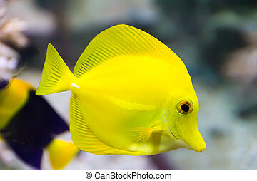 Zebrasoma yellow tang fish - Image of zebrasoma yellow tang...