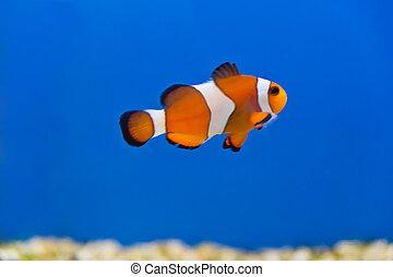 Clown fish - Image of clown fish in aquarium water