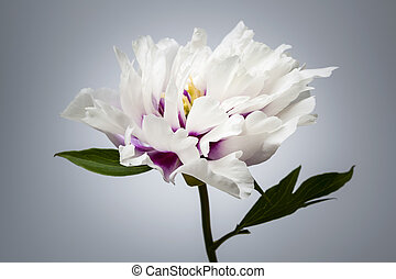 One peony flower - Studio closeup shot of one white and...