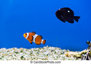 Aquarium fish - Image of clown fish and dascyllus in...