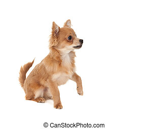 Long haired chihuahua puppy dog with one paw in the raised...