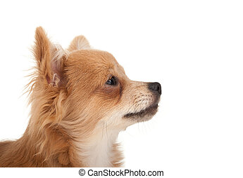 Long haired chihuahua puppy dog portrait in front of a white...