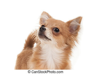Long haired chihuahua puppy dog close-up - Close-up of a...