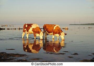 Thirsty cows in H?llevik in Sweden.